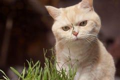 O gato de gato malhado de creme bonito est? comendo a grama, em um fundo marrom imagem de stock