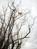 O gato de gato malhado louco aventuroso do gengibre vermelho empoleirou-se altamente acima em ramos de árvore do inverno fotos de stock royalty free