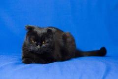 O gato de orelhas caídas preto encontra-se em um fundo azul Fotografia de Stock Royalty Free