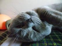 O gato de Selfie/de cabeça para baixo Imagem de Stock