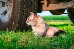 O gato de Shorthair encontra-se na grama ao lado da roda sob o carro Gato do retrato da vista lateral Ainda vida rústica Foto de Stock