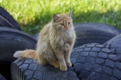 O gato desabrigado do gengibre senta-se nos pneus Foto de Stock