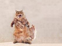 O gato desgrenhado grande é posição muito engraçada, Foto de Stock Royalty Free