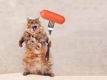 O gato desgrenhado grande é posição muito engraçada, salsicha 1 Imagens de Stock Royalty Free