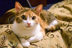 O gato do gengibre com olhos alaranjados olha o close up da câmera fotografia de stock