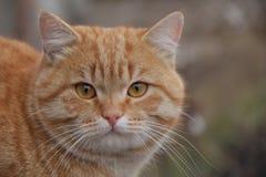 O gato do gengibre olha-o proximamente Imagens de Stock Royalty Free