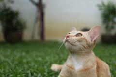 O gato do gengibre que relaxa na grama olha acima foto de stock royalty free
