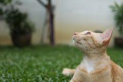 O gato do gengibre que relaxa na grama olha acima imagem de stock royalty free