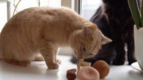 O gato do pêssego joga e come o cogumelo branco filme