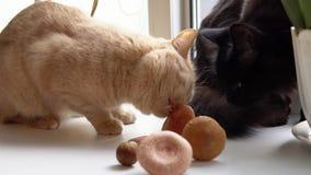 O gato do pêssego joga e come o cogumelo branco video estoque