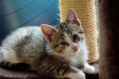 O gato doméstico Fotografia de Stock Royalty Free