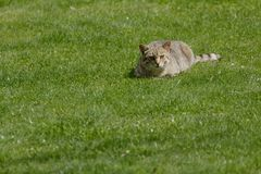 O gato doméstico imagens de stock royalty free