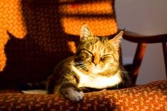 O gato doméstico bonito que encontra-se no sofá relaxa e descansar fotografia de stock royalty free
