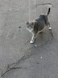 O gato doméstico grávido vai no asfalto Fotografia de Stock