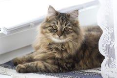 O gato doméstico macio da raça Siberian está na janela foto de stock