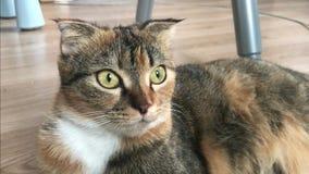 O gato doméstico senta-se quietamente filme