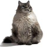 O gato doméstico Siberian grande fotos de stock