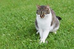 O gato domesticado travou o rato que senta-se no gramado verde fotografia de stock