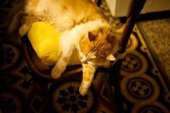 O gato dorme na cadeira Fotografia de Stock