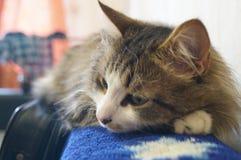 O gato dorme na parte de trás do sofá Fotografia de Stock