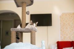 O gato dorme na torre para gatos fotografia de stock royalty free