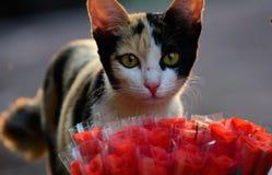 O gato e aumentou Foto de Stock Royalty Free