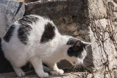 O gato em uma postura de ameaça, protege sua rapina imagem de stock royalty free
