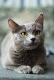 O gato encontra-se em um sofá Fotografia de Stock