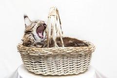 O gato encontra-se em uma cesta Fotos de Stock