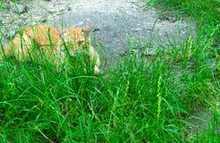O gato encontra-se na grama verde imagens de stock royalty free