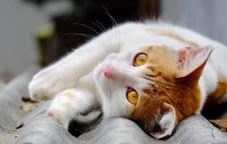 O gato encontra-se para baixo Imagem de Stock Royalty Free