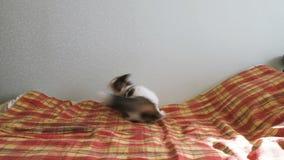 O gato energético está jogando com uma pena na cama O animal de estimação gerencie ao redor e saltos atrás do brinquedo, moviment video estoque