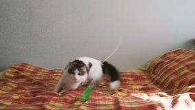 O gato energético salta sobre a pena na cama e gerencie ao redor, movimento lento filme