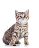 O gato escocês bonito do gatinho do shorthair olha isolado acima Imagem de Stock Royalty Free