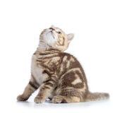 O gato escocês bonito do gatinho do shorthair olha isolado acima Foto de Stock Royalty Free