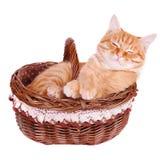 O gato esperto está na cesta Fotos de Stock Royalty Free