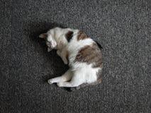 O gato está adormecido imagem de stock