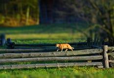 O gato está andando em uma cerca de madeira em uma vila Fotografia de Stock