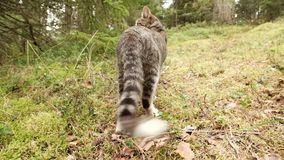 O gato está andando na grama verde na floresta filme