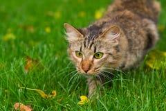 O gato está caçando Fotos de Stock Royalty Free