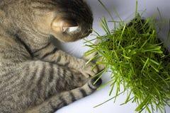 O gato está comendo a grama fotos de stock royalty free