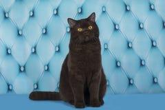 O gato está descansando no sofá azul imagem de stock royalty free