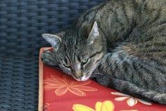 O gato está dormindo no descanso Fotografia de Stock Royalty Free