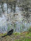 O gato está na borda da lagoa e olha dois patos imagem de stock royalty free