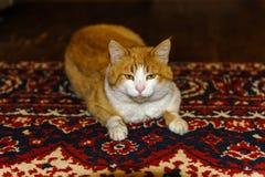 O gato está no tapete fotografia de stock royalty free