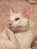 O gato está sentando a reclinação sua cara em seu aperto Fotos de Stock Royalty Free