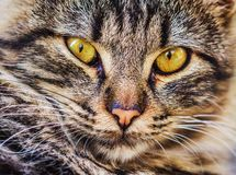 O gato foi domesticado aproximadamente 9 5 séculos há no Médio Oriente foto de stock royalty free