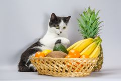 O gato gordo preto e branco aumentou uma pata sobre uma cesta de frutos tropicais imagem de stock
