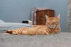 O gato gosta da cama dos povos Imagem de Stock