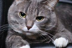 O gato grande está encontrando-se imagens de stock